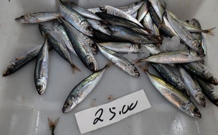 Chicharro a 25 euros o quilo gera uma onda de protesto entre utentes do Mercado da Graça em Ponta Delgada