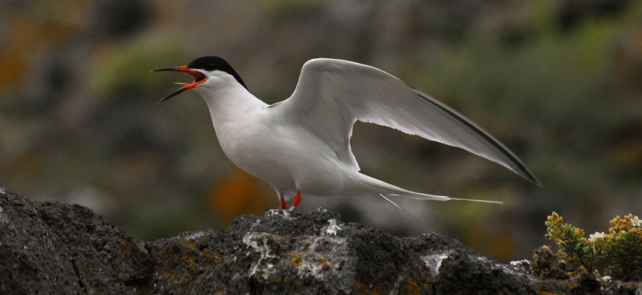 Gui Menezes: Açores têm responsabilidade na preservação de aves marinhas