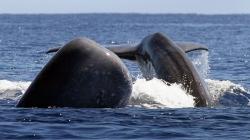 Em sete anos foram avistados 16 mil cetáceos nos mares dos Açores, o que dá uma média de 6 por dia