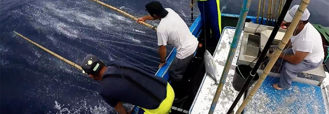 Frota atuneira descarregou nas lotas dos Açores mais do quíntuplo da descarga ocorrida o ano passado