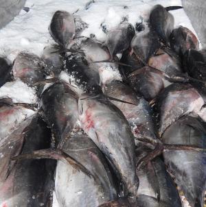 Novo horário COFACO para o recebimento de peixe