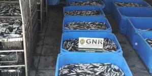 GNR apreendeu mais de 3,6 toneladas de sardinha em Sines