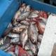 Açores: Redistribuição das quotas de goraz para o último trimestre de 2018