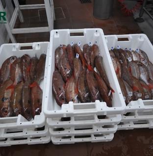 GNR apreende 710 quilos de pescado na ilha de São Jorge