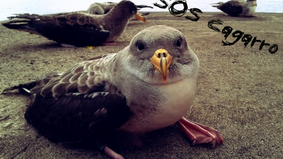 SOS Cagarro contribui para o estudo do impacto do lixo marinho nas aves
