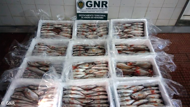 GNR apreende pescado na Praia da Vitória
