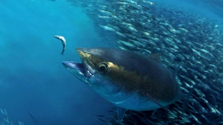 Atum-patudo está em risco e é preciso salvá-lo, alertam cientistas e ambientalistas