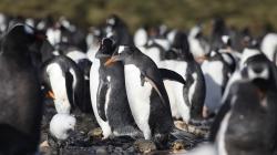 Microplásticos encontrados pela primeira vez em pinguins na Antártida