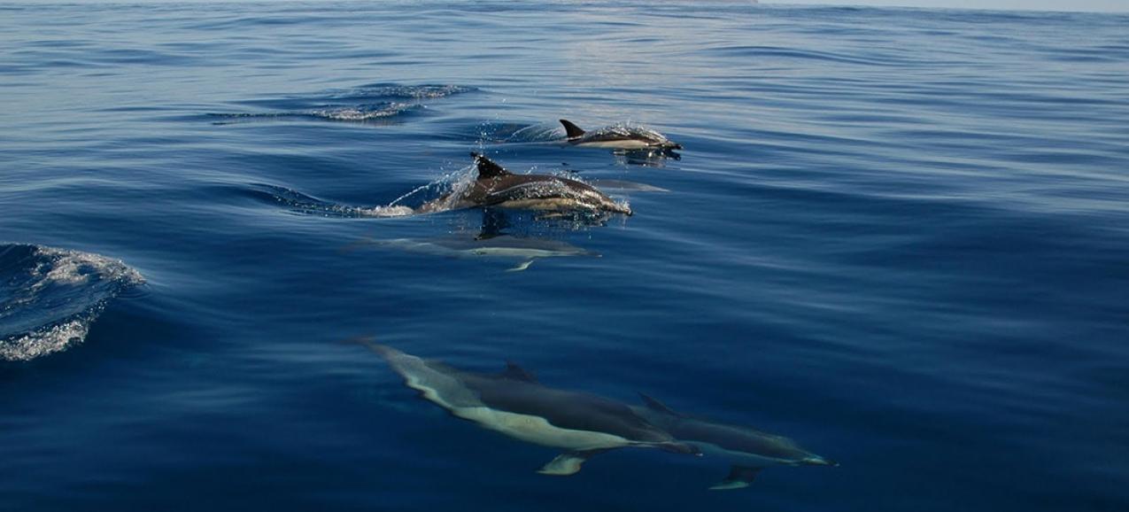 Covid-19 // Governo dos Açores suspende taxas das licenças de Operador Marítimo-Turístico e da atividade de Observação de Cetáceos