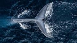 Cientistas avistam um maior número de baleias azuis em ilha subantártica