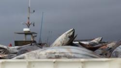 Porto de Abrigo contra limitações da Lotaçor na descarga de atum