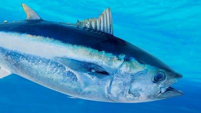 Fecho da pesca dirigida ao atum atum rabilho