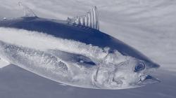 Fecho da pesca acessória de atum Rabilho