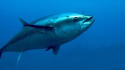 Dez toneladas de atum rabilho descarregadas no último fim-de-semana no porto de Ponta Delgada