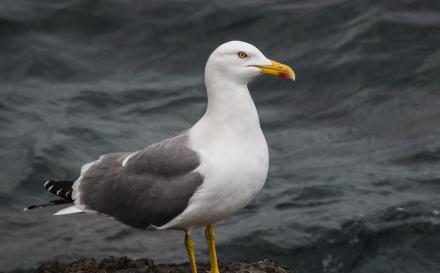 Direcção do Ambiente está a proceder ao controlo de gaivotas de patas amarelas no Ilhéu de Vila Franca do Campo